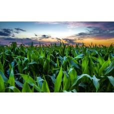 Как применять гумат калия для кукурузы