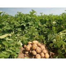 Jak zwiększyć plony ziemniaków? Humat potasowy – sprawdzona skuteczność!