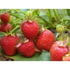 Jak uzyskać obfite zbiory truskawek?