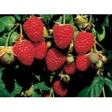 Гумат калия: выращиваем высокий урожай малины