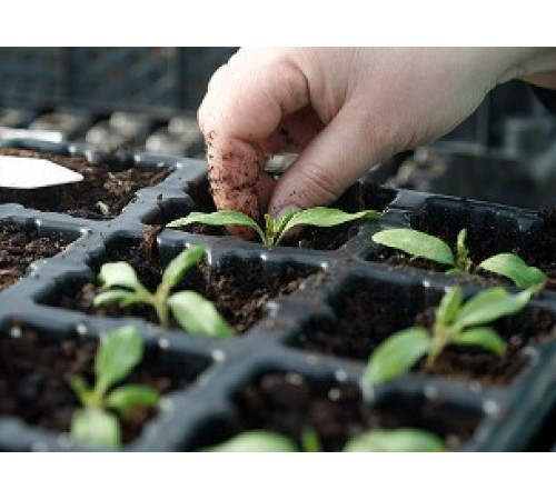 Як виростити міцну розсаду?