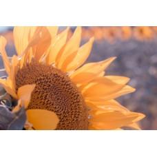 Як застосовувати гумат калію для соняшника: інструкція, способи