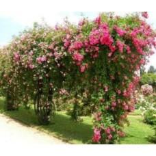 Троянда + гумат = пишний сад