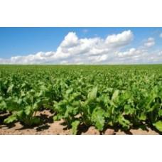 Як підвищити урожай цукрових буряків?
