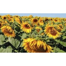 Вплив гумату калію на вегетативний розвиток рослин, урожай і якість с/г продукції