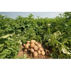 Повысить урожай картофеля? С гумат калия – не вопрос!