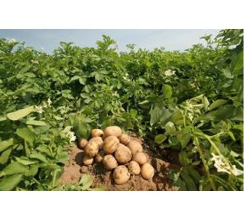 Jak uzyskać wysoki plon ziemniaków? – Z humatem potasowym – bez problemu!