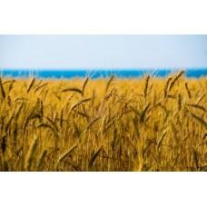Humat potasowy: wpływ na plonowanie zboża